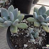 석연화군생   03055 Pachyveria Pachyphytodies