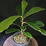 비파나무 