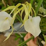 카틀레야.브라사볼라 노도사.굴피부작걸이.흰색꽃.아주좋은향.(밤에 시원한 향기).벌보좋음.상태굿,|