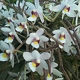 단거조설란.굴피부작걸이.아주좋은향.(상콤달콤한향).흰색에 밤색노랑색.꽃예뻐요.인테리어효과.|
