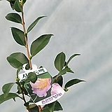 서향동백 중품 꽃대 있어요159 