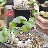 구갑룡 수입씨앗7 립|Dioscorea elephantipes