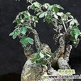 글라우카(아데니아) 수입씨앗 2 립|Dudleya glauca