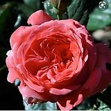 독일장미.신상품.탄타우 카멧롯.old rose강함.예쁜핑크색.(꽃형 예쁜형).꽃9-10cm.넝쿨.울타리정원장미.월동가능.상태굿..늦가을까지 피고 합니다.인기상품.|
