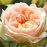 독일장미.신상품.탄타우 마더아스클라우디우스로즈.old rose강함.예쁜살구색.(꽃형 예쁜형).꽃9-10cm.울타리정원장미.월동가능.상태굿..늦가을까지 피고 합니다.인기상품.|