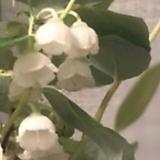 은방울나무 전국노지월동 