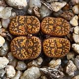 C. pellucidum neohallii 네오할리4두-40|Conophytum pellucidum neohallii