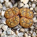 C. pellucidum neohallii 네오할리4두-182|Conophytum pellucidum neohallii