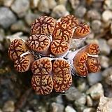 C. pellucidum neohallii 네오할리8두-215|Conophytum pellucidum neohallii