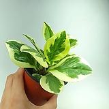 골드페페 무늬페페 페페로미아 페페 공기정화식물 한빛농원