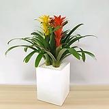 구즈마니아 삼색체리 사진그대로 축하선물고민NO 품격과센스를담은 화분으로 선물하세요 미세먼지잡는 공기정화식물 책상위 관엽식물 
