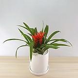 구즈마니아 빨강체리  사진그대로 축하선물고민NO 품격과센스를담은 화분으로 선물하세요 미세먼지잡는 공기정화식물 책상위 관엽식물 