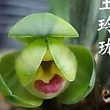 옥영롱 두화 유향종 꽃 