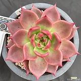환엽피델리오(정품 큐알바코드 이름표 동봉)-33|Echeveria Alba Beauty