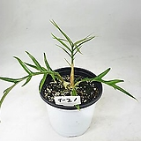 필로덴드론 토텀 사진동일상품발송 라벨 T-21 공기정화식물 한빛농원|