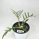 필로덴드론 토텀 사진동일상품발송 라벨 T-32 공기정화식물 한빛농원|