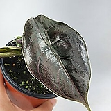알로카시아 아즈라니 공기정화식물 한빛농원|