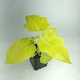 골드셀렘 필로덴드론 공기정화식물 한빛농원|