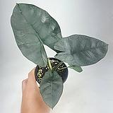 레지네 알로카시아 희귀식물 공기정화식물 한빛농원|