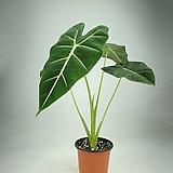 프라이덱 알로카시아 고급수종 공기정화식물 한빛농원|