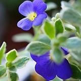 포기 풍성한 무늬 꽃다지|