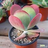 당인 1014-71|Kalanchoe thysifolia