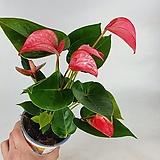 안스리움 핑크 공기정화식물  한빛농원|