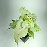 밀크컨페티 싱고니움 공기정화식물 한빛농원 |
