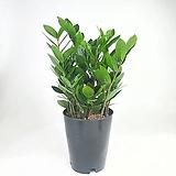 금전수  돈나무  머니트리 공기정화식물  한빛농원|variegated