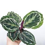 메달리온 칼라데아 공기정화식물  한빛농원|