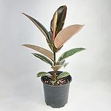 루비수채화고무나무 루비고무나무 고무나무 공기정화식물 한빛농원|