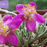 알스토니(적화) 수입씨앗10 립(+파종토 소포장) Avonia quinaria ssp Alstonii