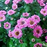 피코국화-핑크 모종(4포트) 노지월동 야생화 천지가야생화 