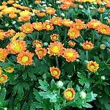 피코국화-오렌지 모종(4포트) 노지월동 야생화 천지가야생화 