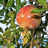 슈퍼석류나무 묘목 (결실주) 분묘 [모든원예조경] 