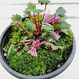 (단품)홍사자 대문자초|Echeveria nodulosa