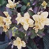 황금 사철나무 스프링참 18cm 화분 정원수 상록수 울타리 묘목 variegated