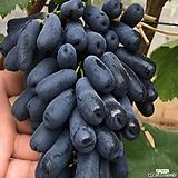 블랙사파이어 접목2년생 가지포도나무 묘목 유실수 Echeveria Black Sapphire