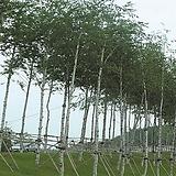 백자작나무 키120cm포트 트리팜 