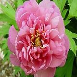 유럽 이토작약 핑크 더블 댄디-1뿌리 