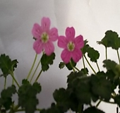 풍로초 핑크색 