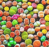 리톱스씨앗 믹스 300립 ( Lithops mix seed ) 280여종믹스-----다육이 화분 비료 분갈이 철화 선인장 분재 꽃|Lithops