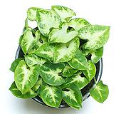 싱고니움모음 핑크싱고 네온싱고 벨벳싱고 싱고늄 실내공기정화식물 거실화분 인테리어식물 거실화분 플랜테리어 화초 관엽식물수경재배 수경식물 플랜테리어 모던수경재배|