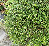 트리안-풍성한특대품-탁월한 공기정화|Muehlenbekia complexa