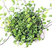 실내공기정화식물 거실화분 플랜테리어 화초 관엽식물 트리안 |Muehlenbekia complexa