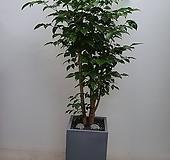 신품종 녹보수 분갈이 분|happy tree