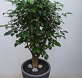 녹보수 외목대 분갈이 화분 키160|happy tree