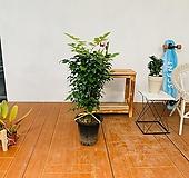 공기정화식물 녹보수 길이 100cm|happy tree