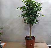 녹보수  외목대   키 75cm가량|happy tree