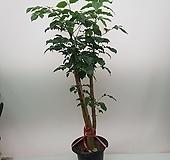 신종녹보수   키  120~ 150cm가량|happy tree